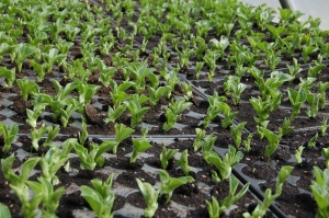 broad beans in trays