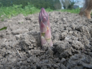 Kensons asparagus April 2014