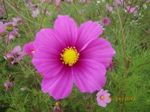 Cosmos, to remind us of an outstanding summer